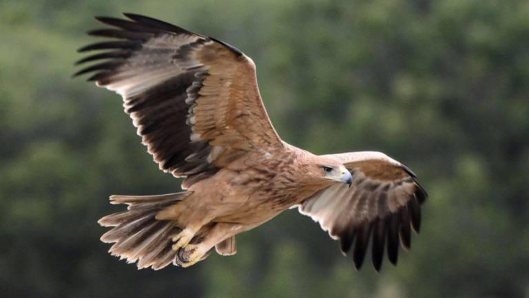 Envenenan a un águila imperial en peligro de extinción dentro del ...