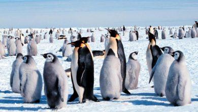 crias-pinguino-emperador.jpg